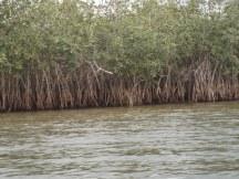 Mangroves on Du River