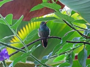 Kolibiri