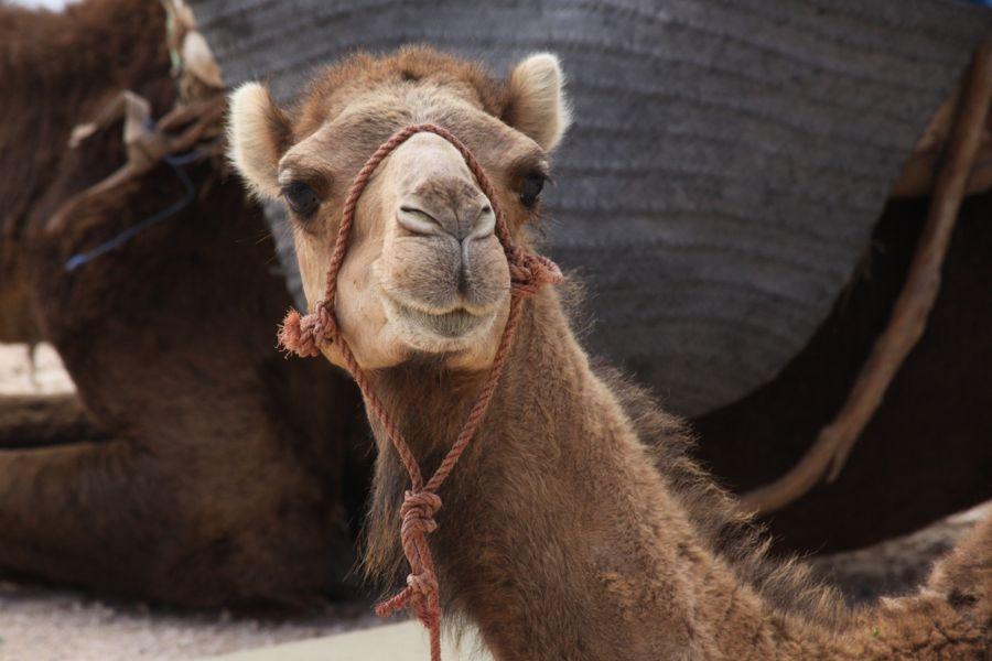 Kari das Kamel