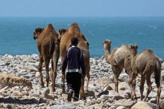 Junge mit Kamelen