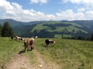 Kühe im Abstieg