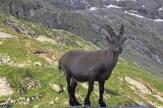 Steinbock bei der Glecksteinhütte
