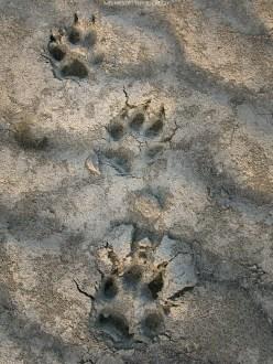 Wolfsspuren, Yukon