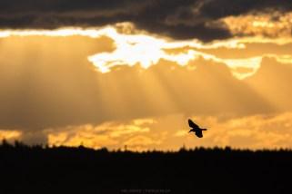 Kingfisher im Abendlicht