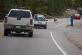 Bighorn Sheep sorgt für Stau :-)