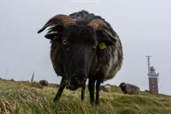 Vom Winde verwehtes Schaf