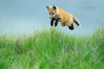 Leaping_Fox_Pup