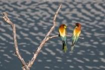 Das Männchen übergibt dem Weibchen die fressfertige Biene