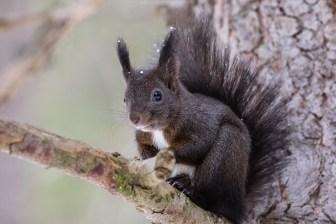 Europäisches Eichhörnchen im Winterkleid, Graubünden