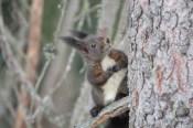Europäisches Eichhörnchen, Graubünden