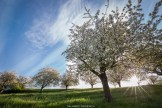 Obstbäume in voller Blüte