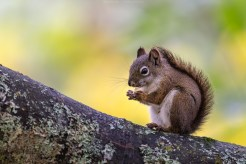 Grauhörnchen, Kanada