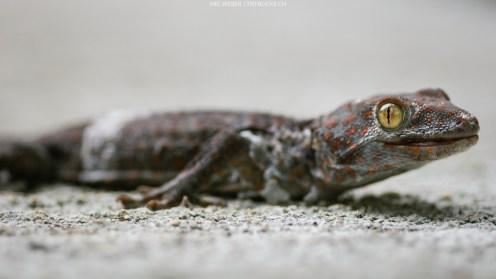 Tokeh-Gecko (Philippinen)
