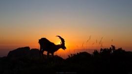 Steinbock im Sonnenuntergang