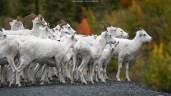 Eine handvoll Schafe