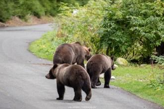 Mamabär mit den zwei Jungbären