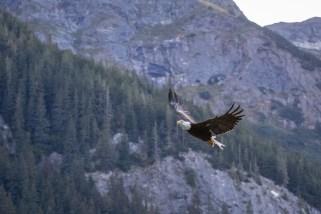 Bald Eagle im Morgenlicht