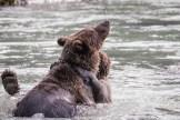 Bären-Wrestling (Alaska)