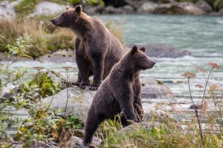 Braunbären (Alaska)
