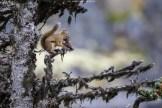 Emsiges Eichhörnchen am White Pass