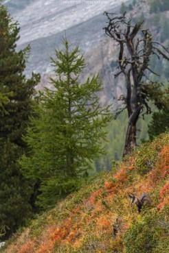 Aletschgletscher mit Gämsen im Vordergrund