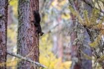 Die Eichhörnchen tanzen an den Lärchen rum