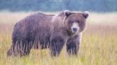 Stattlicher Bär