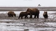 Bärenfamilie am Strand