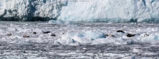 Robben sonnen sich auf den Eisschollen