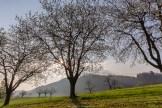 Noch ein Sonnenstern im Kirschbaum