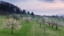 Kirschblüte in Solothurn