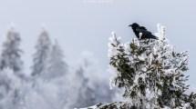 Eine aufgeplusterte Krähe trotzt der Kälte