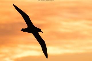Albatros-Silhoutte