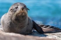 Seebär (Neuseeland)