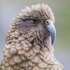 Kea, Neuseeland