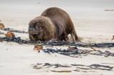 Seelöwen gehören auch in die Familie der Robben...