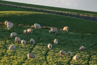Allgegenwärtig: neuseeländische Schafe