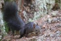 Eichhörnchen im Spurt