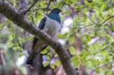 Wood Pigeon / Kereru. Endemisch.
