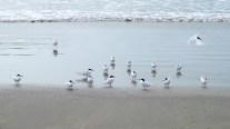 Taraseeschwalben und ein Mitläufer...