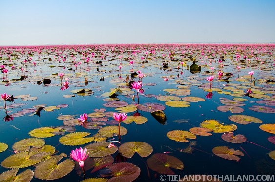 Big Green Lily Pads Breaking up the Red Lotus Sea