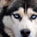 CURIOSIDADES | Los ojos azules los huskies siberianos