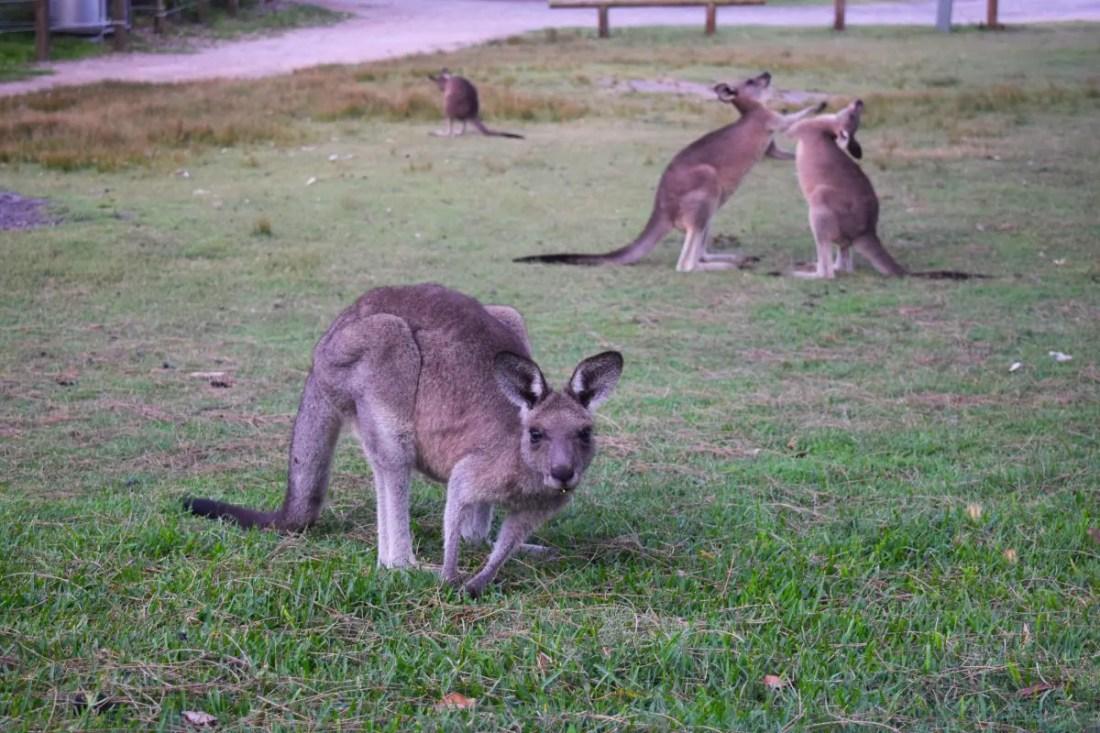 Canguros en Cave Beach Campground, Booderee National Park, Jervis Bay, Viajar a Australia