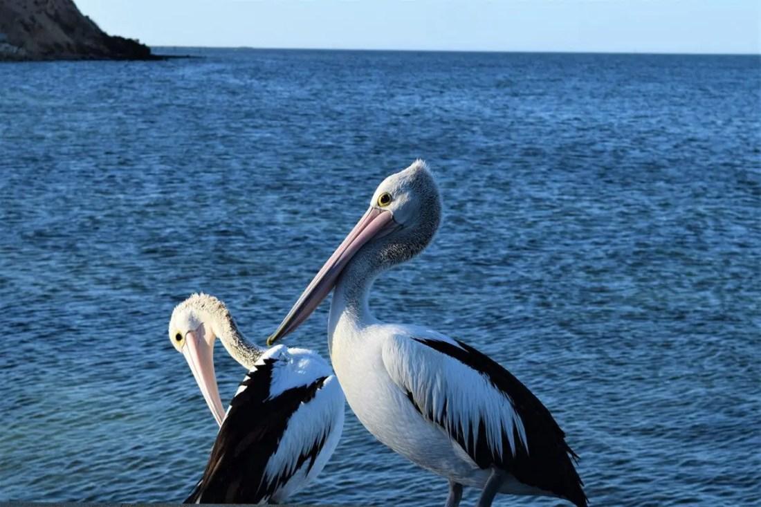 Pelicanos, Kangaroo Island, South Australia