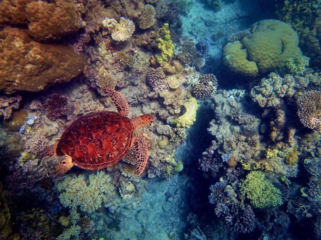 Barrera de Coral Tortuga Australia