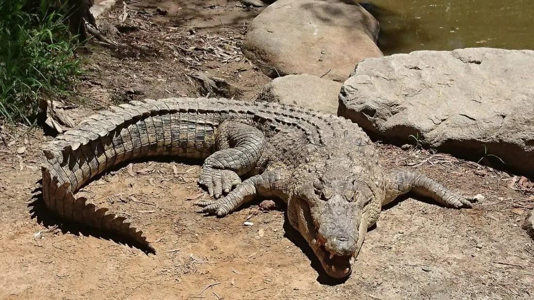 Cocodrilo Cairns, Viajar a Australia 15 días