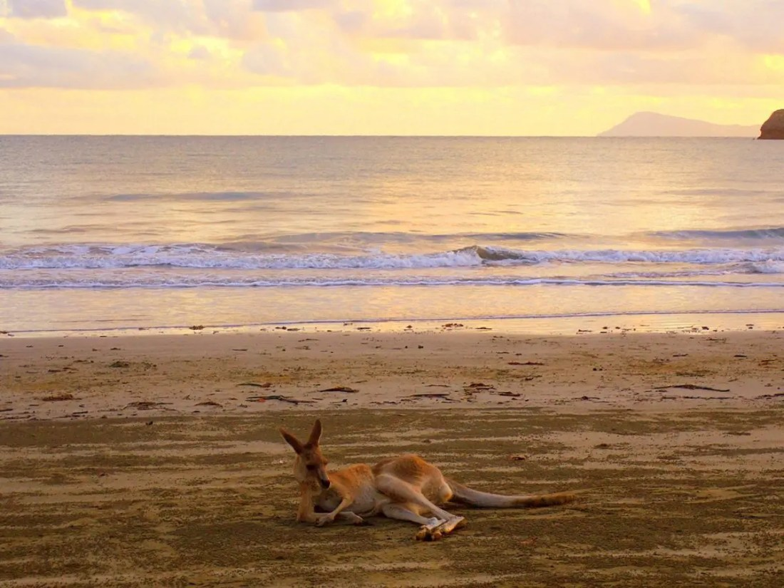 Canguro. Viajar barato a Australia