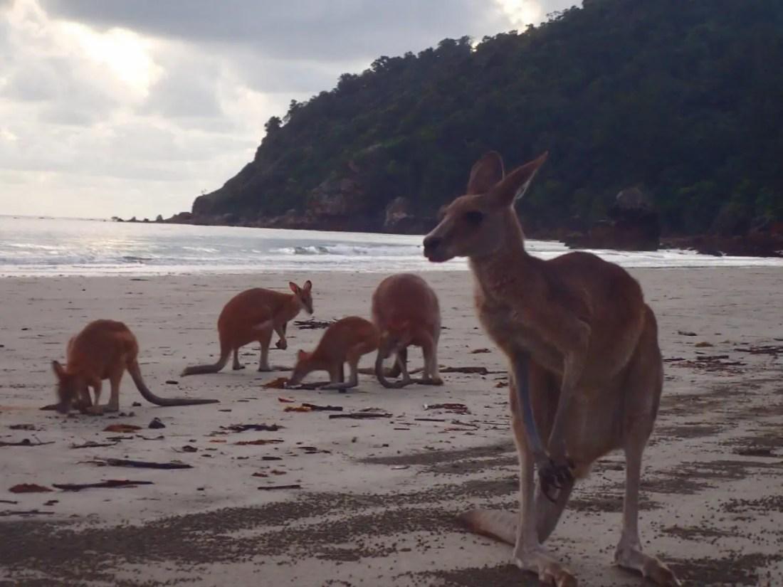 mejores-rutas-motorhome-australia-canguro