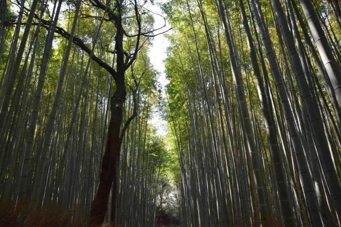 osque de Bambú de Sagano. Ruta de 10 días Japon