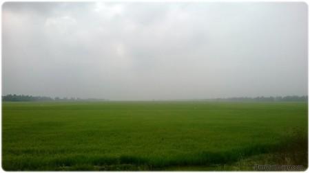 Cánh đồng xanh mướt, trải dài tít tắp.